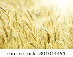 fields of wheat at the end of... | Shutterstock . vector #301014491