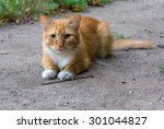Cute Red Homeless Cat Lays On...