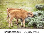 Two Young American Bison  Or...