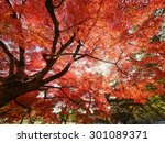 Red Maple Tree Under Sunlight...