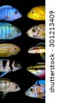 Small photo of Lot of aquarium fishes from cichlidae family.