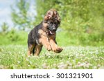 german shepherd puppy running... | Shutterstock . vector #301321901