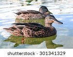 Ducks Swim In The Lake....