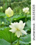 Nelumbo Nucifera   White