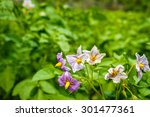 Purple Flowers And Leaves Of...