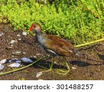 a young common gallinule...   Shutterstock . vector #301488257