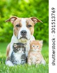 Small photo of American staffordshire terrier dog with two little kittens