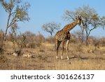 the giraffe is an african ... | Shutterstock . vector #301626137