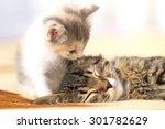 Stock photo kitten licks sleeping cat 301782629