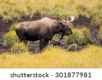 Small photo of Juvenile Western Moose (Alces alces andersoni) feeding at mud pool. Alberta, Canada, North America.