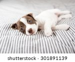 Stock photo adorable small terrier mix puppy relaxing on striped bed 301891139