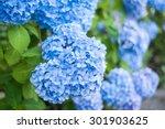 Hydrangea Blue Hydrangeas Summer