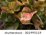 Small photo of Painted Copperleaf''s red leaves(Acalypha wilkesiana )