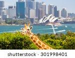 giraffes at taronga zoo... | Shutterstock . vector #301998401