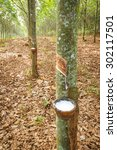 rubber latex from rubber tree... | Shutterstock . vector #302117501