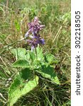 Small photo of Lilac Sage (Salvia verticillata) in the meadow