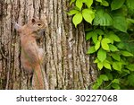 Gray Squirrel On Tree Trunk...
