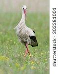 White Stork   Lake Neusiedl ...