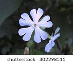 Two Wild Blue Phlox Flowers ...