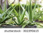 close up aloe vera plant ... | Shutterstock . vector #302390615