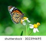 Monarch Butterfly On Wild...