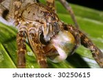 Small photo of Tropical wolf spider (Ctenidae) feeding on a frog