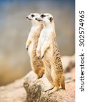 The Cute Couple Meerkat...
