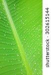 Green Banana Leaf And Rain Drops