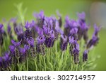 Germany Close Up Of Lavender...