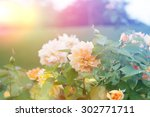 Stock photo garden rose 302771711