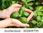 Female Hands Holding Basil...