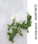 ivy isolated on background... | Shutterstock . vector #302874875
