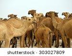 camels in pakistan  | Shutterstock . vector #303027809