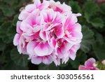 Pink Red Geranium Macro Flower