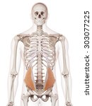 medically accurate muscle... | Shutterstock . vector #303077225