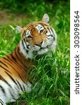 amur tigers on a geass in... | Shutterstock . vector #303098564