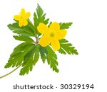 Yellow Buttercup Flower  The...
