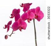 pink orchid | Shutterstock . vector #3033322