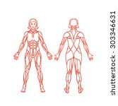 anatomy of female muscular... | Shutterstock .eps vector #303346631