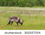 black phase grey wolf  canis... | Shutterstock . vector #303357554