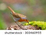 Robin Bird On A Branch