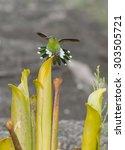 Tepui Goldenthroat Hummingbird...