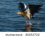 Egyptian Goose Feet In Water...