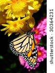 Butterfly On Flowers  Monarch ...