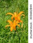 Tawny Daylily's Flower...