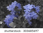 close up to plumbago flower in... | Shutterstock . vector #303685697