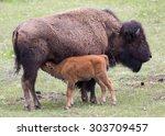 A Bison Calf Nurses In...