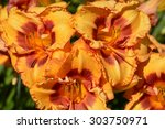 lilies are a group of flowering ... | Shutterstock . vector #303750971