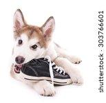 Cute Malamute Puppy Chewing...