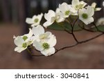 Dogwood Blossoms On Branch. ...